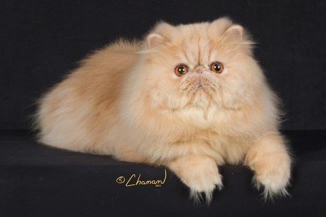 Himalayan persian cat pictures